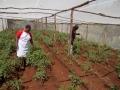 Dorcas_Maitima_SH._Tomatoes_planted.