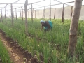 Jasinta_Peter_SH._Planted_tomatoes_and_onions.