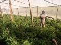 Joyce_Benjamen_SH._Harvesting_tomatoes.