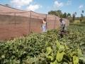 Mucheche_SH.Under_seedbed_preparation_&_orange_sweet_potatoes_planted_outside_birds_net.