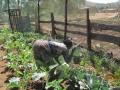 Harvesting-1,-2012_fs