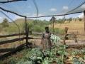 harvesting-cabbages_fs