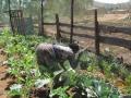 Harvesting-1,-2012